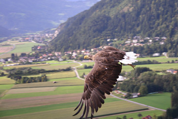 Eagle gliding over countryside landscape