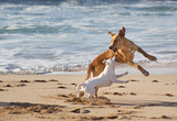 Fototapety Dogs playing at the beach