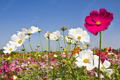 Blooming Cosmos flower garden