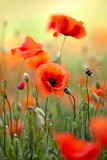 Roter Mohn - 33253842