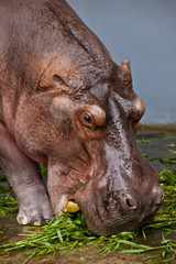Hippopotamus Eating