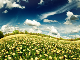 Meadow with yellow dandelions. .
