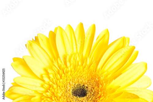 Yellow gerber flower on white background