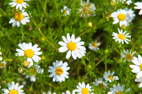 Field of beautiful white daisy wheels