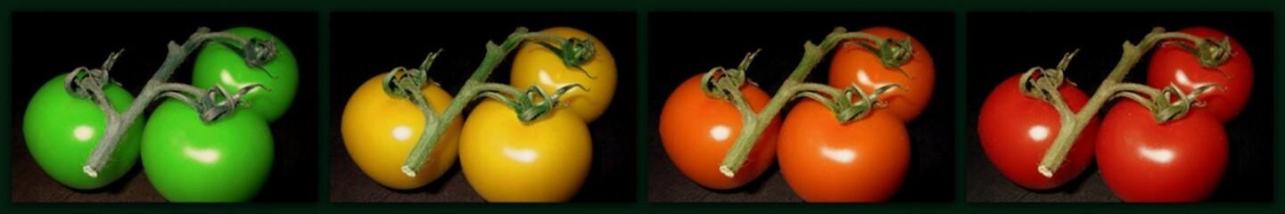 Tomaten in verschiedenen Reifestadien