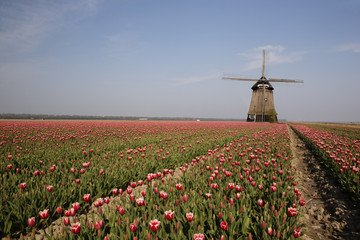 Champs de tulipes et moulin en hollande