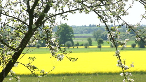 Canola field with apple blossoming