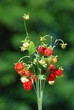 Red wild strawberries