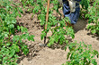 Vegetable garden under cultivation