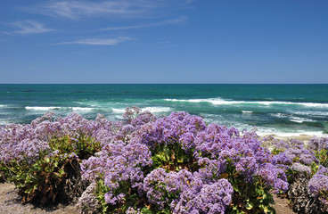 La Jolla wildflowers
