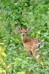 sika deer fawn