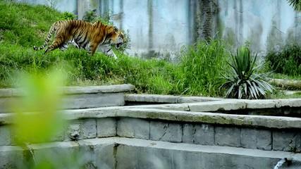una tigre si aggira tra le rovine di un tempio indiano