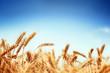 wheat - 33281230