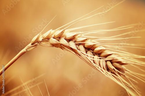 wheat - 33281297
