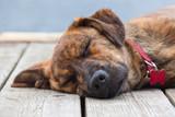 A brindled Plott hound puppy on a porch poster