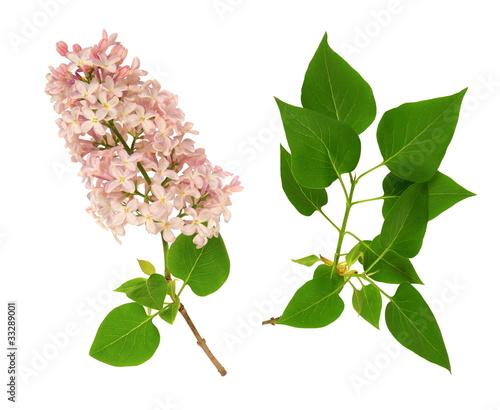Deurstickers Lilac Lilas commun