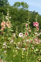 massif de roses trémières