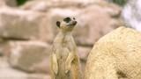 šelmy suricatta