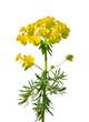 Zypressen-Wolfsmilch (Euphorbia cyparissias)