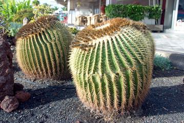 Mammilaria Cactus