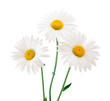 canvas print picture - daisy