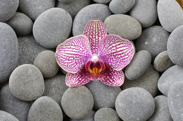 Perfect pink orchid on gray pebble