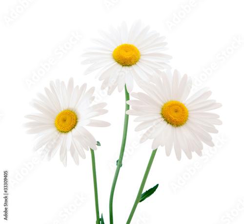 Fotobehang Madeliefjes daisy