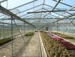 Gewächshaus in einer Gärtnerei mit bunter Blumenzucht
