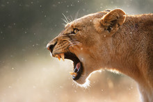 Lioness displaying dangerous teeth