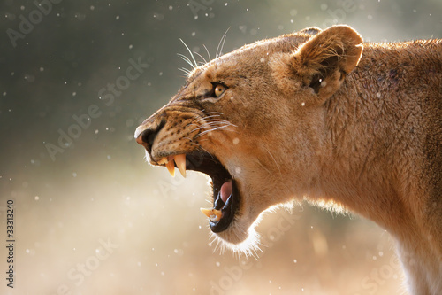Fotobehang Leeuw Lioness displaying dangerous teeth