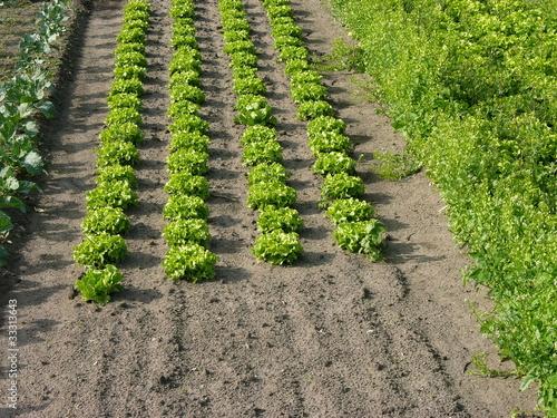 Feld mit grünen Salatpflanzen in Frankfurt am Main Oberrad