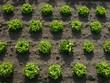 Salatköpfe in Reih und Glied auf einem Feld einer Gärtnerei