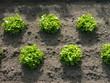 Grüner Salat auf dem Feld einer Gärtnerei in Frankfurt am Main