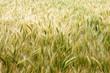 barley farm