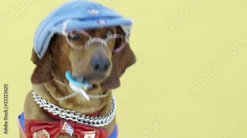 Sausage dog wearing clothes and holding dummy