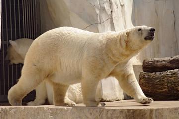 Polar bear in the zoo's pavilion