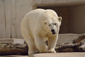 Polar bear in the zoo's pavilion