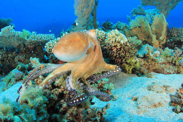 Reef Octopus (Octopus cyaneus) hunting on coral reef