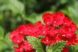 Fototapety 赤いバーベナの花