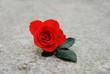 rose on stone background