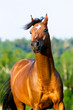 bay arabian horse portrait in motion