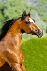 bay arabian horse portrait in motion