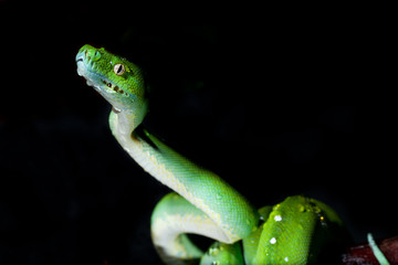 Green Tree Python wiht black background