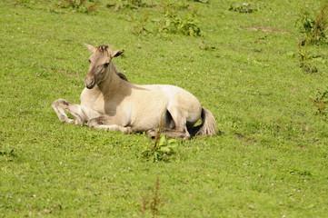 Konik-Wildpferd