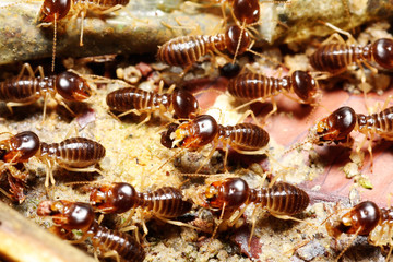 group of termite