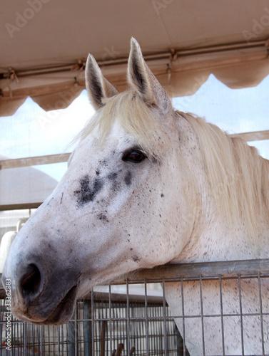 stallion horse