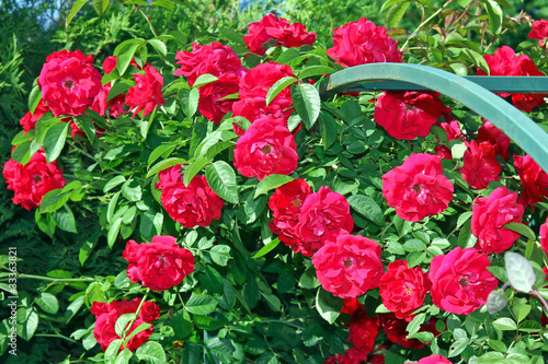 Beautiful bright red roses in the garden