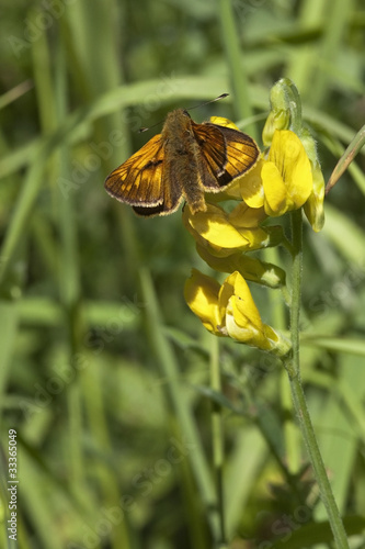 small skipper butterfly 3
