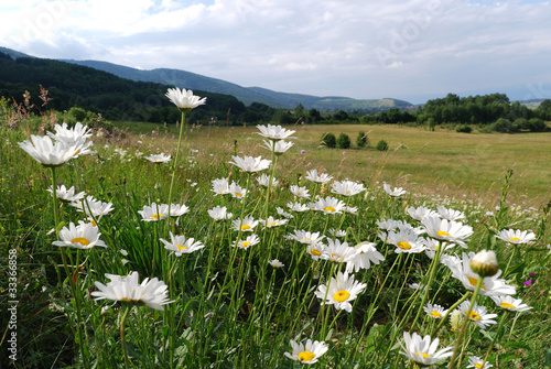 daisies in the mountains
