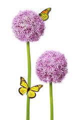 Allium Giganteum - Natur Pur